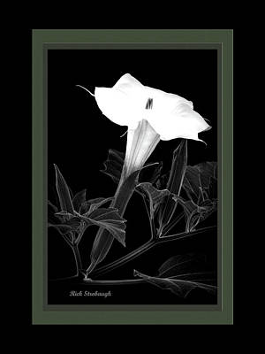 Photograph - Jimsonweed Bloom Bw Grn by Rick Strobaugh