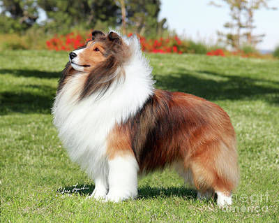 Sable Sheltie Photograph - Jkc Jcc Ch Seaside Fairy Jp Indy Rider-1 by Chris Lynch