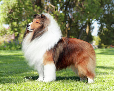 Sable Sheltie Photograph - Jkc Jcc Ch Seaside Fairy Jp Indy Rider-3 by Chris Lynch