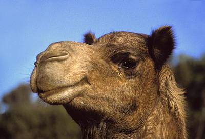 Photograph - Joe Camel by Gary Wonning