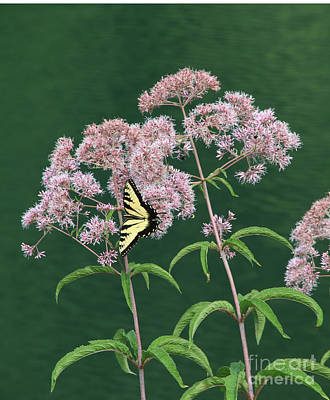 Photograph - Joe Pye Weed by Marilyn Carlyle Greiner
