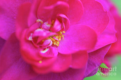 Photograph - John Cabot Rose by Verena Matthew