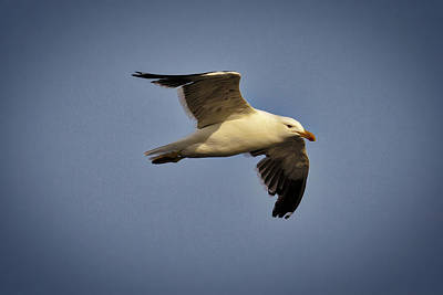 Photograph - John L Seagull by John Haldane
