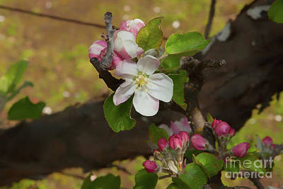 Photograph - Johnathan Apple Blossoms by Glenn Franco Simmons