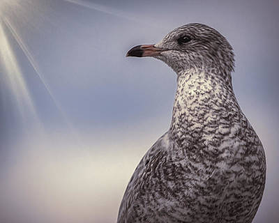 Photograph - Johnathan Livingston Seagull by Bob Orsillo