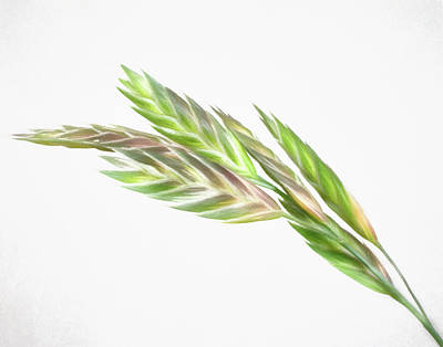 Photograph - Johnson Grass The Weed by David and Carol Kelly