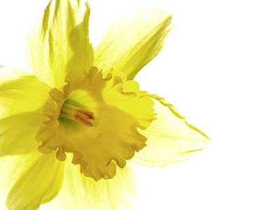 Photograph - Jonquil Light by Angela Davies