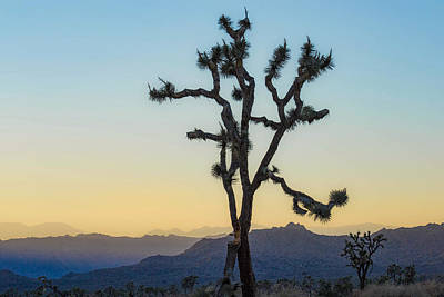 Photograph - Joshua Tree by Amanda Rimmer