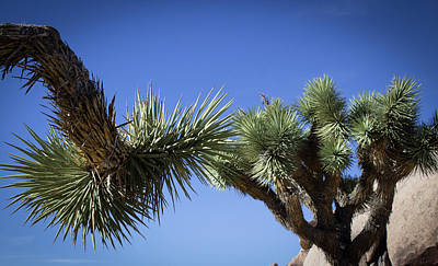 Photograph - Joshua Tree Branches by Elaine Webster