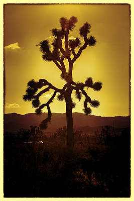 Mojave Photograph - Joshua Tree Glow #2 by Stephen Stookey