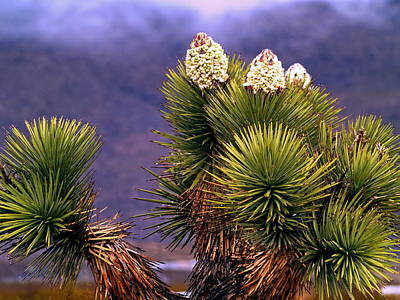 Kids Alphabet - Joshua Tree in Bloom by Richard Thomas
