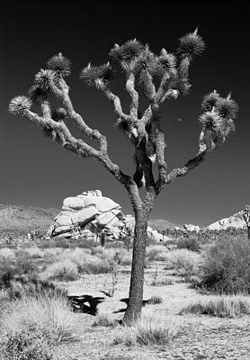Joshua Tree In Monochrome Art Print by Adam Pender