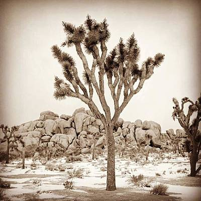 Desert Photograph - Joshua Tree In Snow. A Rare Sight by Alex Snay