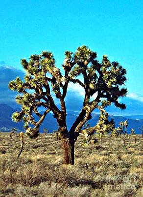 Photograph - Joshua Tree by Jean Fry