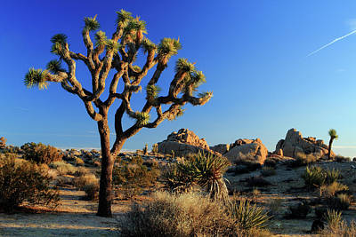 Photograph - Joshua Tree Morning by Eric Foltz