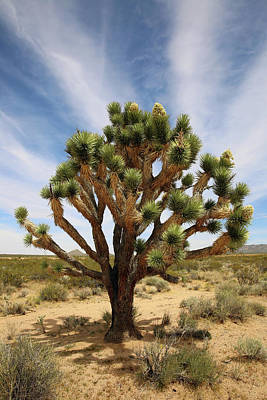 Photograph - Mojave Sentinel  by Robin Street-Morris