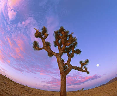 Photograph - Joshua Tree Swirl by Paul Breitkreuz