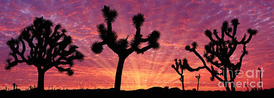 Photograph - Joshua Trees At Sunrise by Warren Photographic
