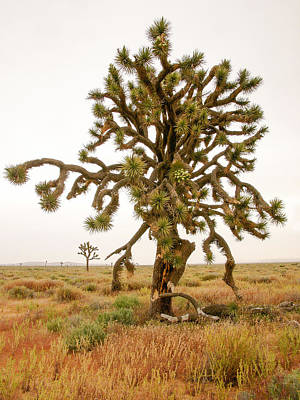 Joshua Trees In Desert Art Print