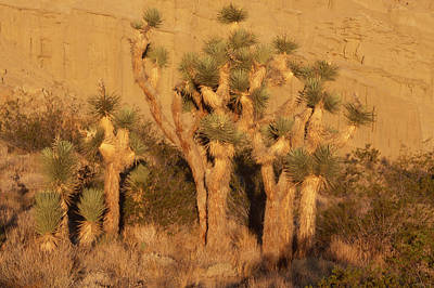 The Bunsen Burner - Joshua Trees - Red Rock Canyon by Soli Deo Gloria Wilderness And Wildlife Photography