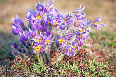 Photograph - Joyful Group Of Pasgue Flowers by Jenny Rainbow
