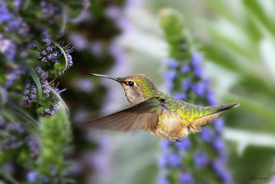 Photograph - Joyful Hummingbird by Diana Haronis