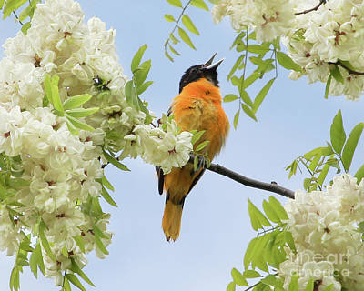 Photograph - Joyful Oriole by Anita Oakley