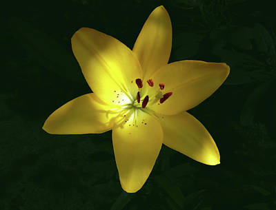 Katharine Hepburn - Joyful Summer Lily by Johanna Hurmerinta