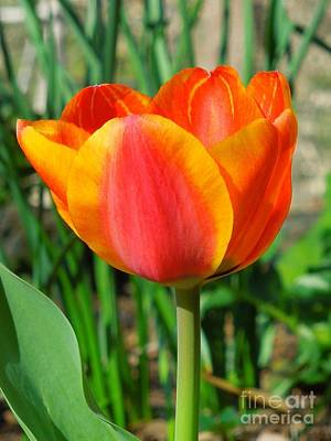 Photograph - Joyful Tulip by Chad and Stacey Hall