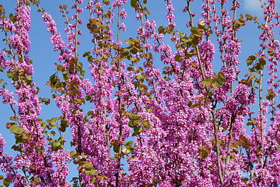Photograph - Judas Tree In Pink, Haela Valley Near To Modiin by Yoel Koskas