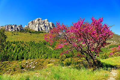 Photograph - Judas Tree In Sainte Baume by Olivier Le Queinec