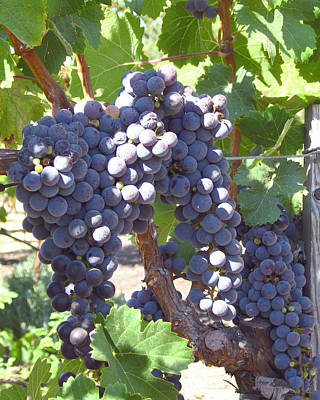 Vino Photograph - Juicy by Colleen Elise