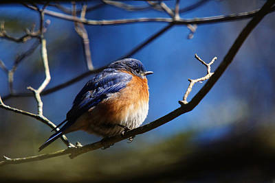 Photograph - Juicy Male Eastern Bluebird by Robert L Jackson