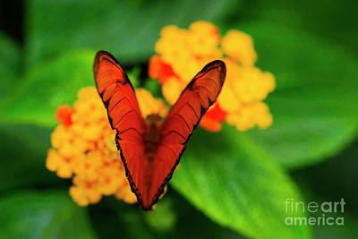 Julia Butterfly, Dryas Iulia Art Print