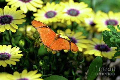 Photograph - Julia Butterfly In Yellow Flowers II by Denise Bruchman