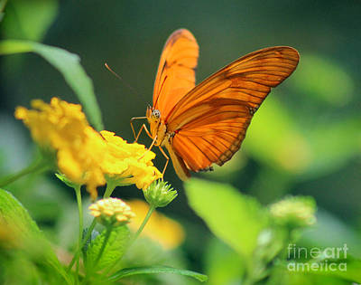 Photograph - Julia Butterfly by Karen Adams