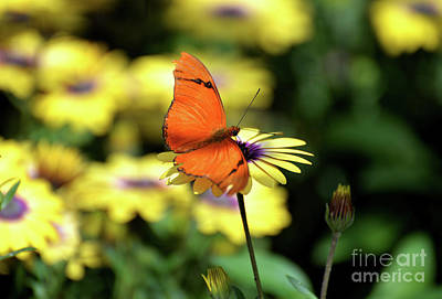 Photograph - Julia Butterfly On Yellow Flower by Denise Bruchman