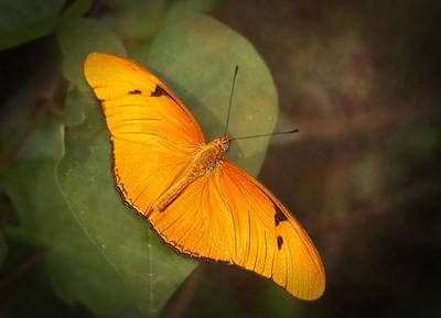 Julia Dryas Butterfly-2 Art Print