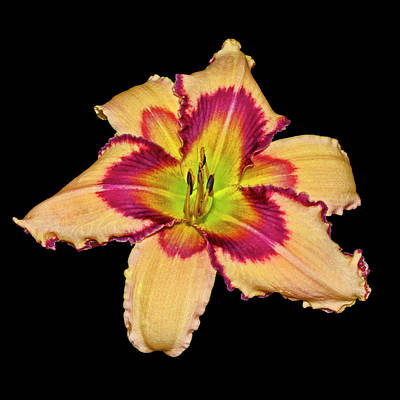 Photograph - Julie Newmar Daylily 001 by George Bostian