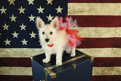 Photograph - July 4th Westie by Amanda Stadther