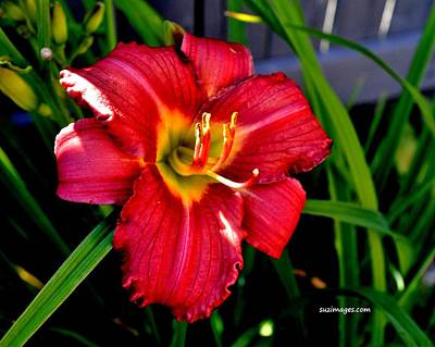 Photograph - July Lily by Susie Loechler