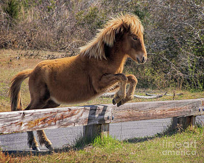 Photo Royalty Free Images - Jumping Assateague Wild Horse Royalty-Free Image by Priscilla Burgers