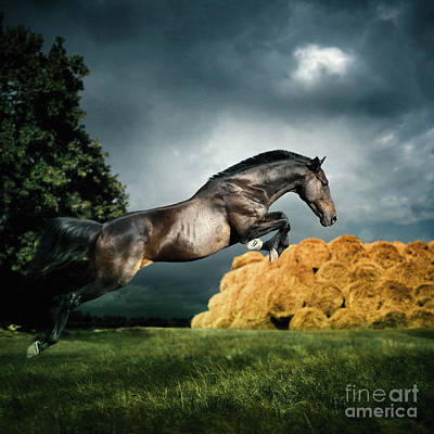 Photograph - Jumping Black Stallion by Dimitar Hristov