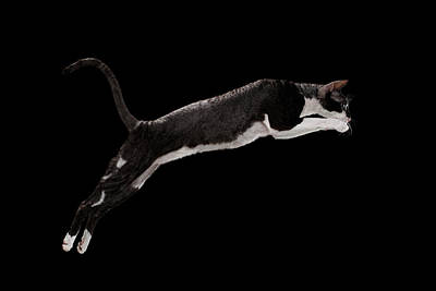 Black Cat Photograph - Jumping Cornish Rex Cat Isolated On Black by Sergey Taran