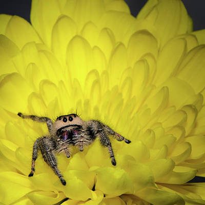 Photograph - Jumping Spider by Emily Bristor
