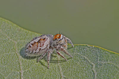 Grey Photograph - Jumping Spider by Gary Wing