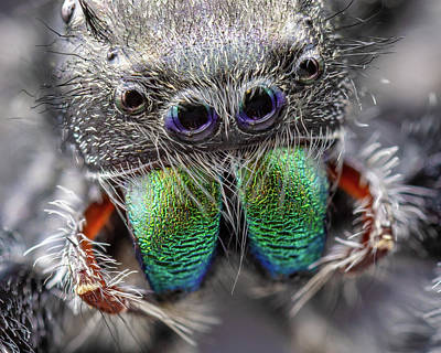 Photograph - Daring Jumping Spider by Jerry Fornarotto
