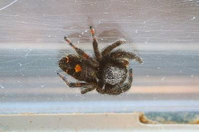 Photograph - Jumping Spider by Kathryn Meyer