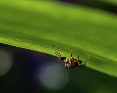 Jumping Spider On The Prowl Art Print