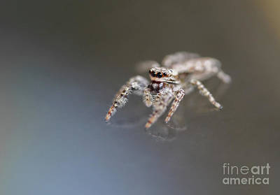 Photograph - Jumping Spider On Glass Table by Giovanni Malfitano